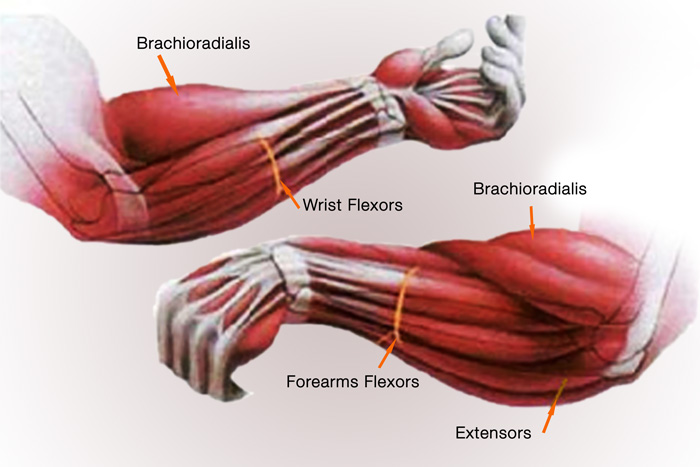 The Forearm Muscles