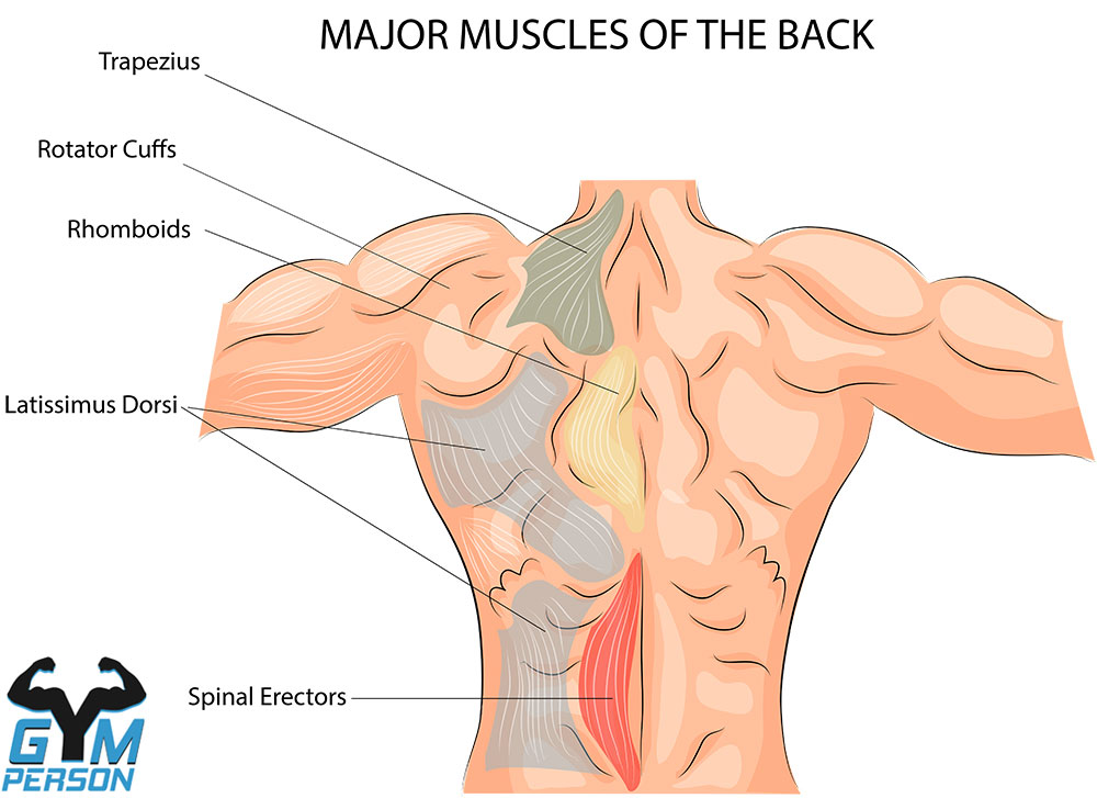 Muscle anatomy of the back